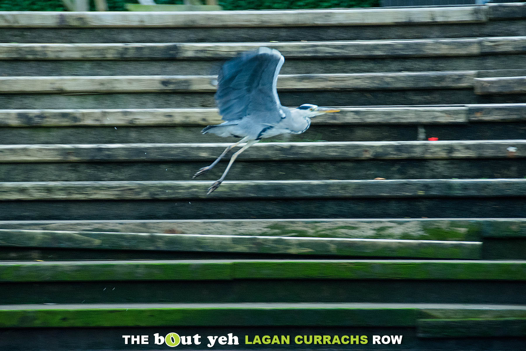 A heron takes to the air. As seen from the Bout Yeh Lagan Currachs row - photo 9235.