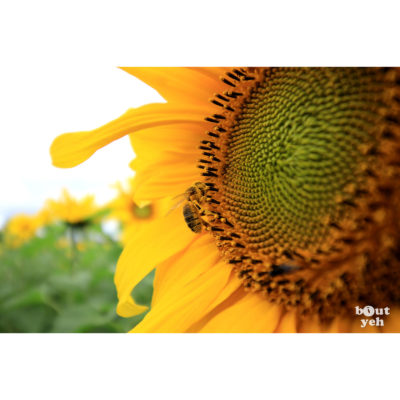 Bee collecting pollen from sunflower - photographic print for sale. Photo by Glenda Hall.