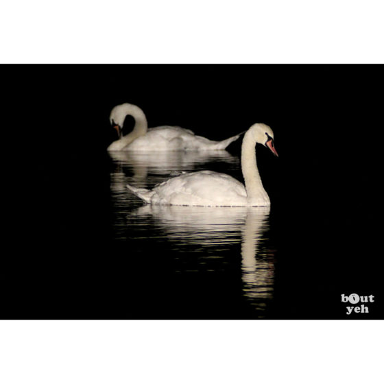 Swans reflected in water at night - photographic print for sale. Photo by Glenda Hall.