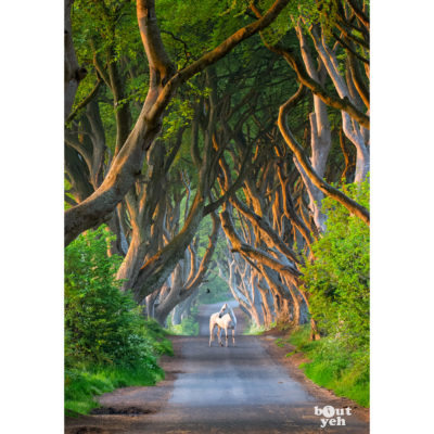 The Dark Hedges, Game of Thrones location - photo for sale by bout yeh, lo